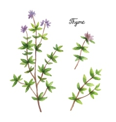 Watercolor branches and leaves of thyme vector