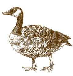 Engraving drawing canada goose vector