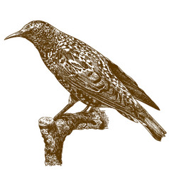 engraving of common starling vector image
