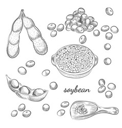 soybean bowl and pods hand drawn sketch on white vector image