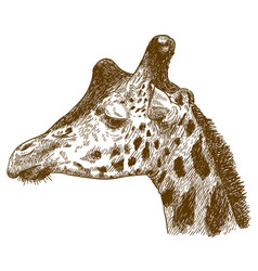 engraving drawing of giraffe head vector image