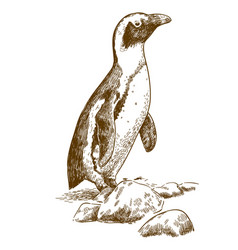 Etching drawing of humboldt penguin vector