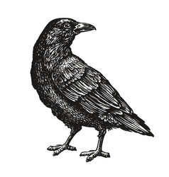 hand-drawn black crow raven bird sketch vector image