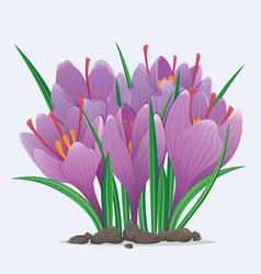 Saffron flowers bouquet vector
