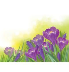 Spring crocuses flowers vector