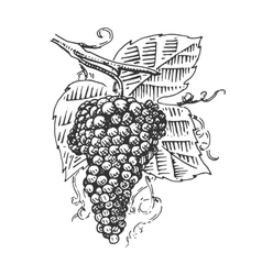 grape with leaves for wine engraved vector image vector image