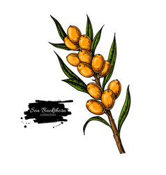 sea buckthorn drawing isolated berry vector image