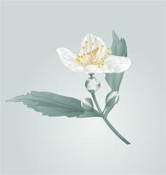 Spring flower twig jasmine flower and buds vector image