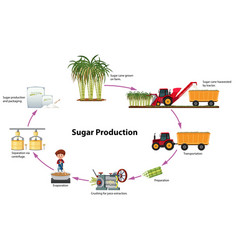 A digram of sugar production vector