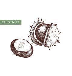hand drawn chestnut botanical vintage nut vector image