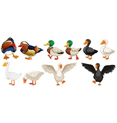 Different kind of ducks and goose vector image