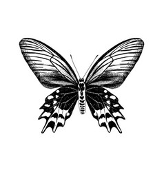 hand drawn antropaneura semperi butterfly vector image
