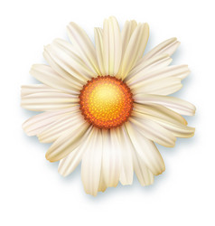 White chrysanthemum flower top view 3d vector