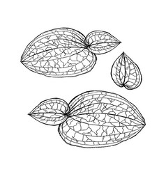 anoectochilus calcareus orchids leaves by hand vector image