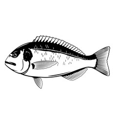 Gilt-head bream fish black and white vector