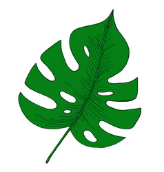 green tropical monstera leaf vector image