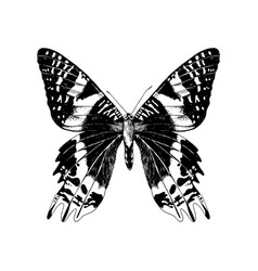 Hand drawn madagascan sunset moth vector