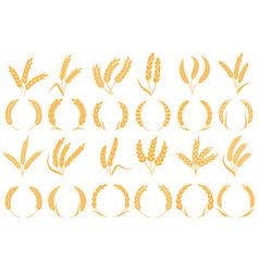 wheat or barley ears golden grains harvest stalk vector image