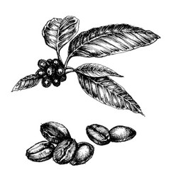 Coffee set coffee plant and beans isolated vector