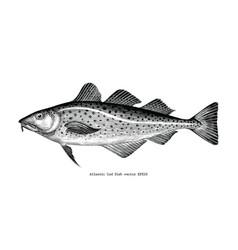 Atlantic cod fish hand drawing vintage engraving vector