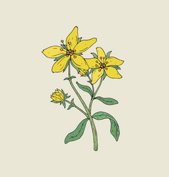 Colorful botanical drawing of st john s wort in vector