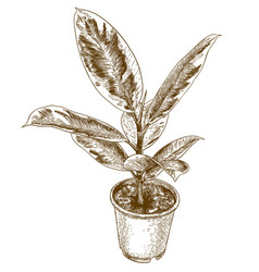 Engraving drawing of ficus elastic vector