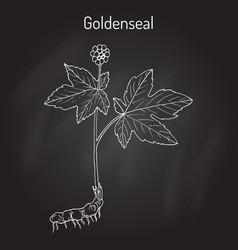goldenseal hydrastis canadensis medicinal plant vector image