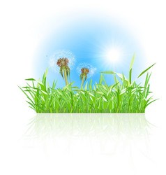 Green grass ith dandelion on white background vector image