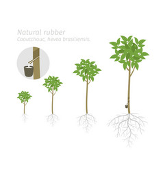 Natural rubber tree plant growth stages set vector