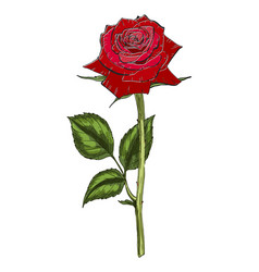 hand drawn red rose flower isolated on white vector image