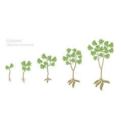 Cassava plant growth stages set manihot esculenta vector