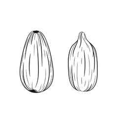 Hand drawn sunflower seeds sketches vector image