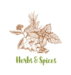 Herbs and spice sketch with rosemary mint ginger vector
