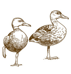 engraving drawing of two ducks vector image vector image