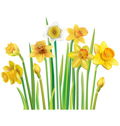 yellow daffodils on a white background vector image