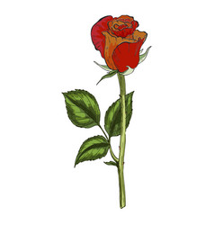 hand drawn red and orange rose flower isolated vector image vector image