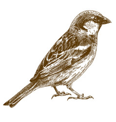 Engraving drawing sparrow vector