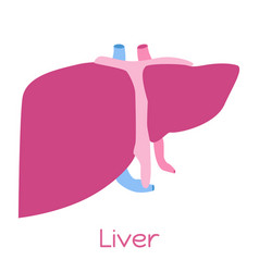 Liver in flat style viscera icon internal organs vector