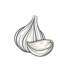 Garlic on white background vector