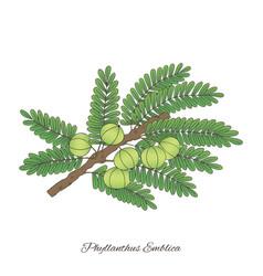 Emblika plant -02 vector