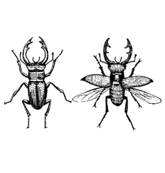 Stag beetle engraved vintage hand drawn vector