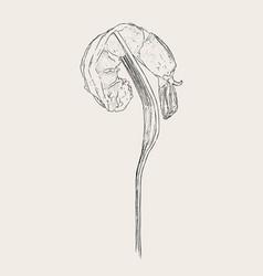 cooked shrimp on fork sketch vector image