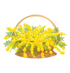Wicker basket with flowers mimosa vector image vector image