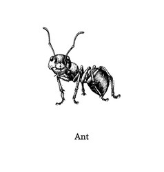 Red wood ant drawn insect vector