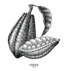 cocoa plant hand draw vintage engraving style vector image