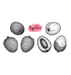 Ink sketch set of lychee fruits vector