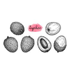 ink sketch set of lychee fruits vector image