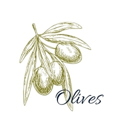 Olive branch sketch with olives bunch vector