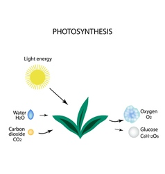 Photosynthesis The plant is in the sun Water vector image