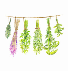 Herbs are dried on a string watercolor summer vector